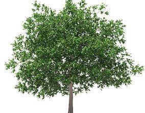 3D White Oak 7point5m