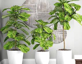 3D model Ficus lyrata trees set