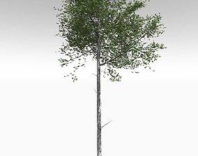 Tall Mature Quaking Aspen - Variation 2 3D model