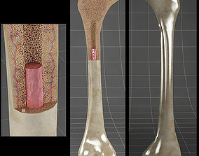 3D section Anatomy bone femoral