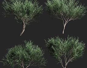 3D Set of olive trees v2 - 4 models