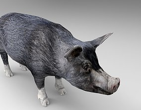 3D asset Black Pig Rigged