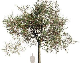 3D model Northern Red Oak Var1