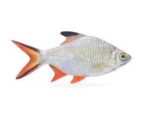 3D Tinfoil Barb Fish