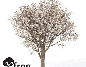 XfrogPlants Apricot Tree 3D model