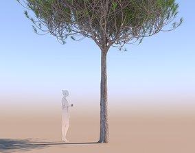 GTV pinus pinea stone pine young A 3D