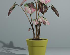 Indoor plant bicolor caladium 3D model
