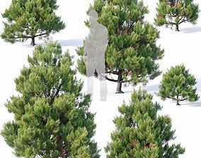 Pinus sylvestris Nr4 H1m-3m V2 Seven tree set 3D model