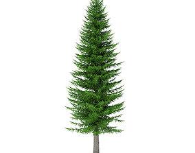 Norway Spruce Picea abies 11m 3D model
