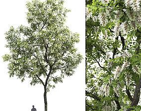 Robinia pseudoacacia 02 H13m 3D model
