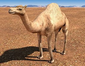 3D asset Arabian Camel