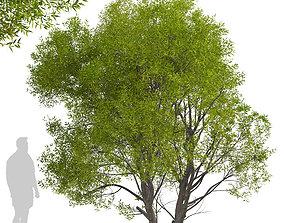 Set of Salix Fragilis or Crack willow Trees - 2 3D model