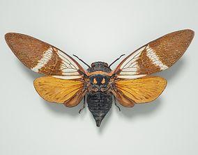 Cicada Anhamia Floridula Vietnam 3D model