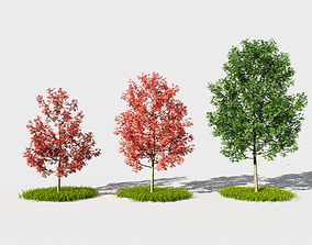 Acer platanoides 3D model