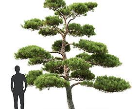 3D Pinus Bonsai 01