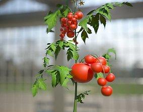 3D Tomato bush
