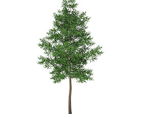 Scots Pine Tree Pinus sylvestris 11m 3D model