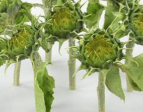 3D model Young Sunflower