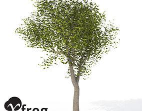 XfrogPlants Field Maple 3D