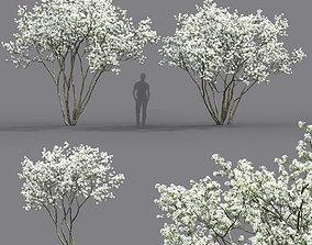 Amelanchier Flowering 02 3D nature