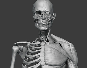 3D Skeleton and muscules
