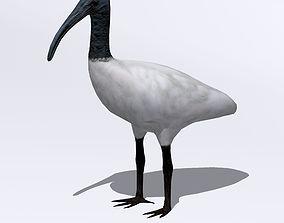 Australian Ibis 3D asset