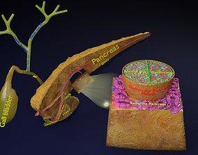 Diabetes pancreas anatomy microscopy islet beta insulin 3D