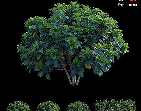 3D model Gardenia angustifolia merr Plant set 03