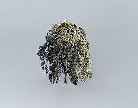 Castanea chestnut 3D