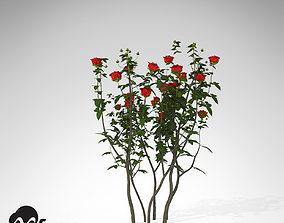 XfrogPlants Hundred Leaved Rose 3D model
