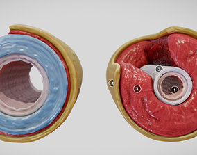 Elastic Vs Muscular Artery animated 3D asset