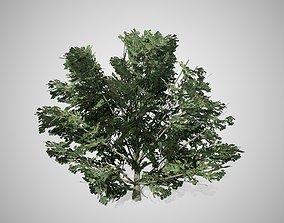 3D asset American Holly Shrub bush