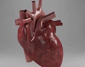 Anatomy heart cardiovascular 3D model