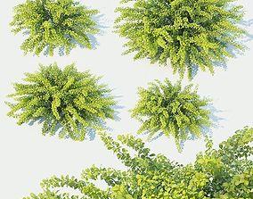 3D model Berberis Thunbergii Nr3 Green Carpet