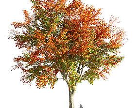 3D model Maple tree 3