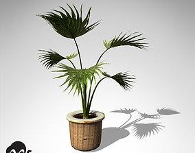 3D XfrogPlants Miniature Chusan Palm