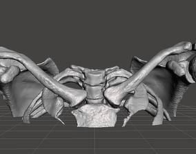 3D model Upper Chest Bone - female