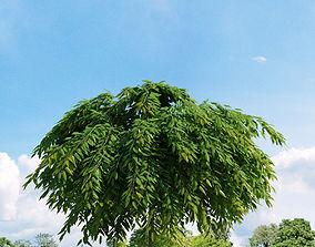 Salix repens var nitida 022 v2 AM136 3D model