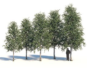 3D Five white birches 6-8 meters