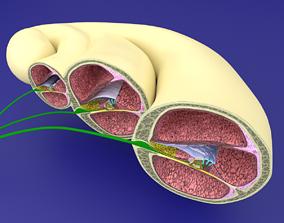 Cochlear duct organ of corti inner ear 3D model