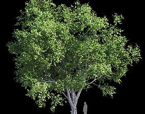 3D Platanus acerifolia 3