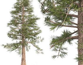 3D asset Western Red Cedar Tree