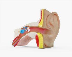 3D model Human Ear Anatomy