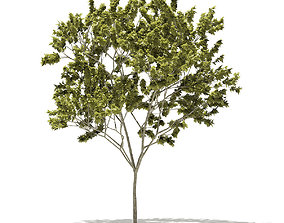 Norway Maple Acer platanoides 9m 3D