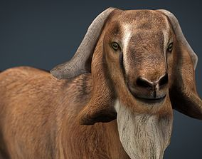 Domestic Goat 3D model