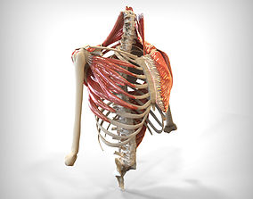3D Human Upper skeletal and Connecting Muscles
