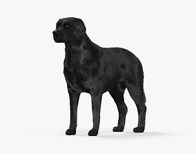 3D model Labrador Retriever Black HD