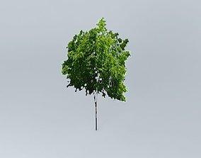 3D model Zelkova Serrata Tree