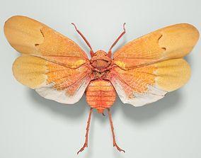 3D model Cicada Scamandra Sanguiflua Sulawesi Insect