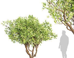 3D model Set of Olive or Olea Europaea Trees - 1